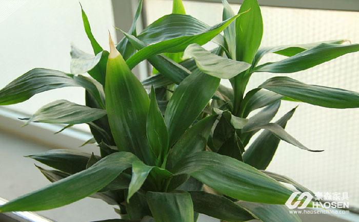 美式客厅应摆放什么植物?